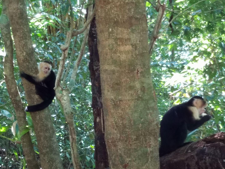 blog-Monkeys-Ziplines-and-Yoga-Oh-Pura-Vida-monkeys