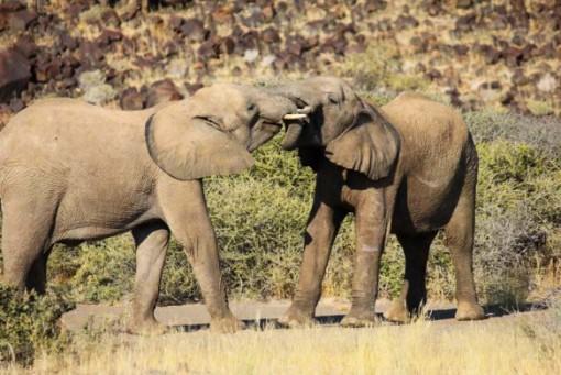 Elephants in Namibia.