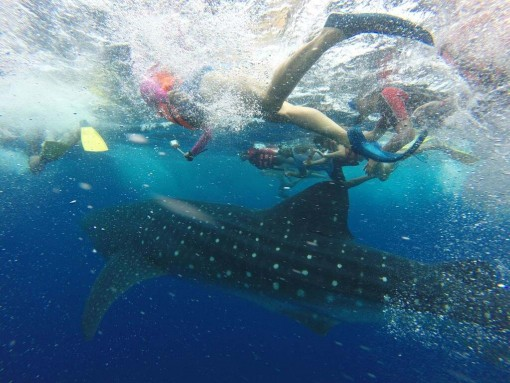 Swimming with whale sharks in Cancun.